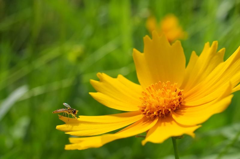 Close-up of bee perching on yellow cosmos flower