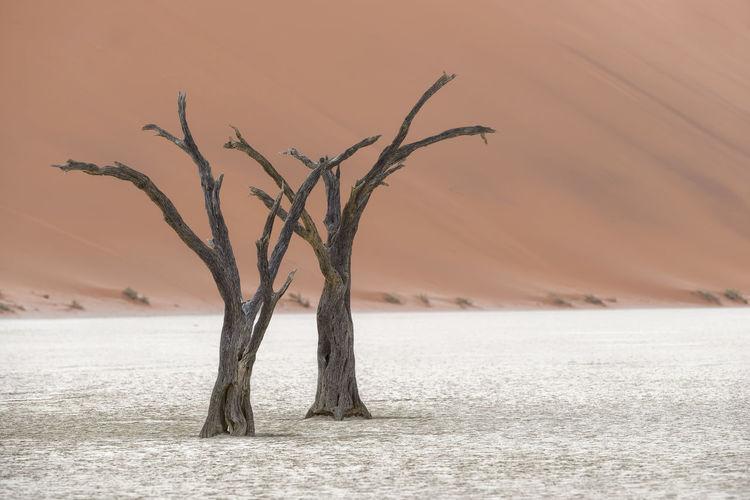 Bare trees on snowy landscape against desert