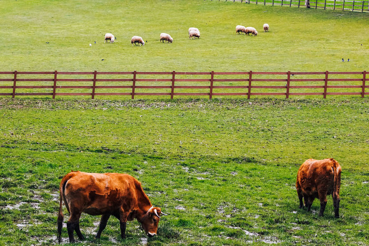 Mammal Livestock Domestic Domestic Animals Pets Animal Themes Animal Grass Field Group Of Animals Vertebrate Land Cattle Agriculture Plant Grazing Cow Domestic Cattle Landscape Nature No People Herbivorous Highland Cattle Outdoors Herd Farm Sheep