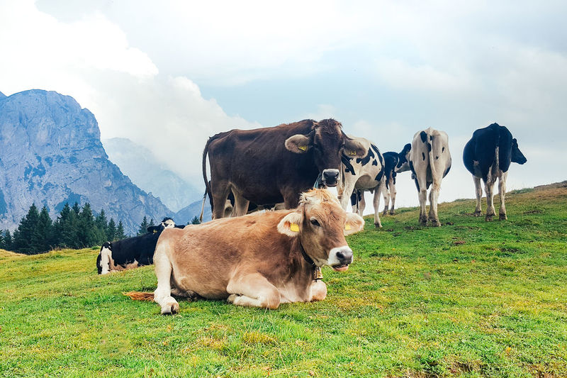 Animal Themes Beauty In Nature Cattle Cloud - Sky Cow Day Domestic Animals Farm Animal Field Grass Grazing Landscape Livestock Mammal Mountain Nature No People Outdoors Sky