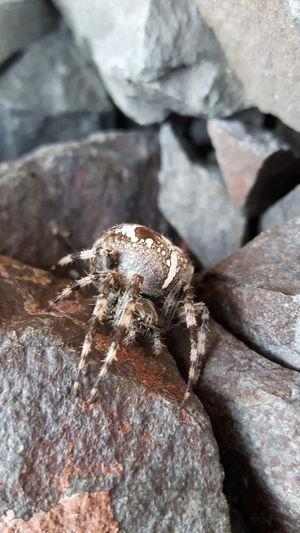 Scottish spider Wildlife Animals In The Wild Nature Crawling Close-up Scotland Edinburgh