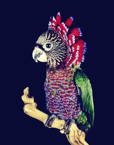 Hawks Parrot