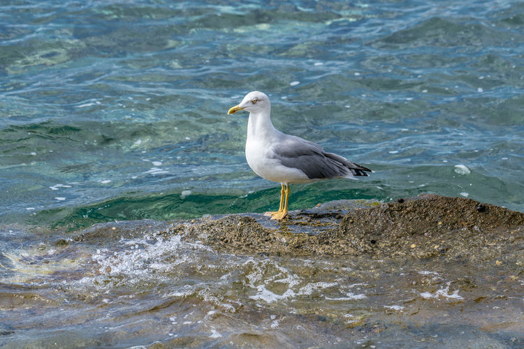 Seagull standing and waiting patiently on the rocks of the shoreline Alone Freedom Animal Themes Animal Wildlife Animals In The Wild Aqua Bird Blue Day Environment Fauna Nature No People Ocean One Animal Outdoor Outdoor Photography Outdoors Portrait, Real Life Sea Seabird Seagull Seaside Water