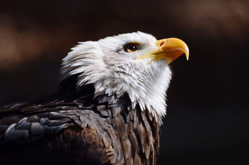 天问 Bald Eagle