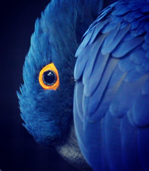 Hyacinth macaw Animal Themes Animal Wildlife Bird Bird Close Up Bird Portait Black Bacground Blue Blue Sky Close-up Hiding Hyacinth Macaw Intense Stare Looking At You Macaw Mysterious Nature No People One Animal Parrot Portrait Staring At You Wildlife Yellow Yellow Eyes