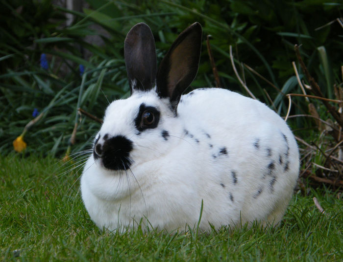 Animal Themes Black And White Rabbit Close-up Day Domestic Animals Field Grass Mammal Nature No People Old English Rabbit One Animal Outdoors Pets Rabbit White Rabbit Pet Portraits