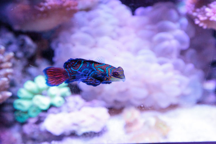 Mandarin goby is also called the Mandarin dragnet Synchiropus splandidus in a reef aquarium Animal Themes Aquarium Aquarium Fish Aquarium Life Bubble Coral Close-up Colorful Colorful Fish Coral Reef Day Fish Goby Mandarin Dragnet Mandarin Goby Marine Fish Marinefish Nature No People Swim Synchiropus Splandidus