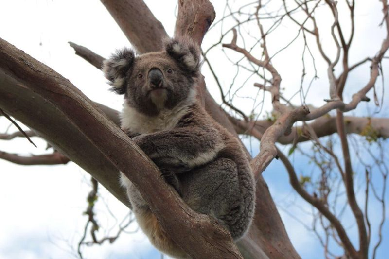 Low angle portrait of koala on tree against sky