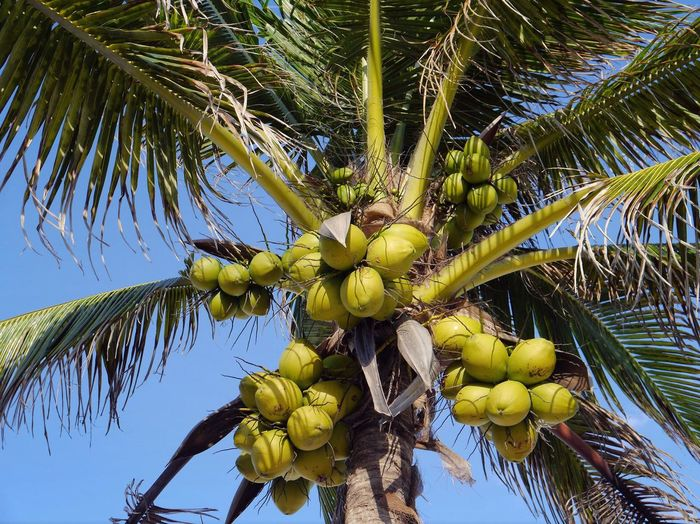 Coco Coconut Tree Coconut Low Hanging Fruit Palm Palm Tree Blue Sky Paradise Mexico