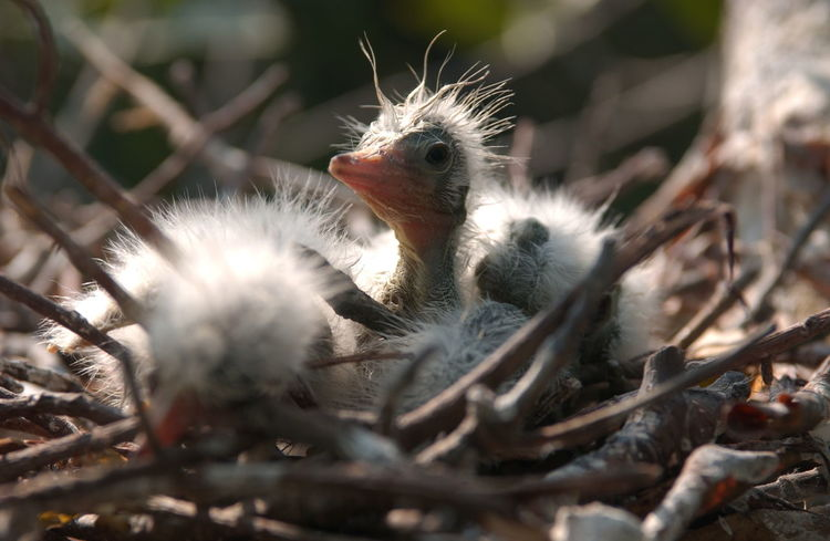Juvenile Egrett in the nest in Mangrove Tree in Pullau rambut Birds Sanctuary in Thousand Island, Jakarta Animal Themes Beauty In Nature Biodiversity Birds Close-up Egretta Juvenile Birds Nature Outdoors Wildlife Wildlife & Nature Wildlife Photography