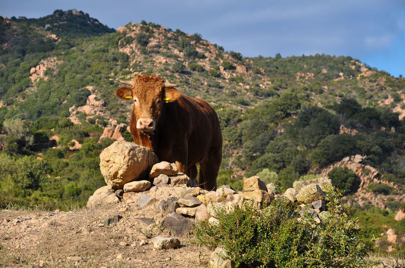 View of cow on rock