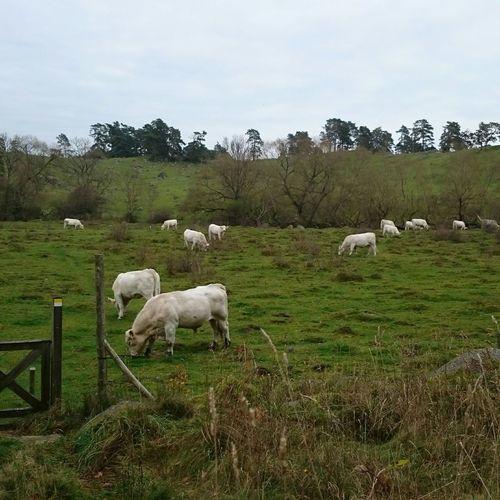 Livestock Cow Landscape Autumn