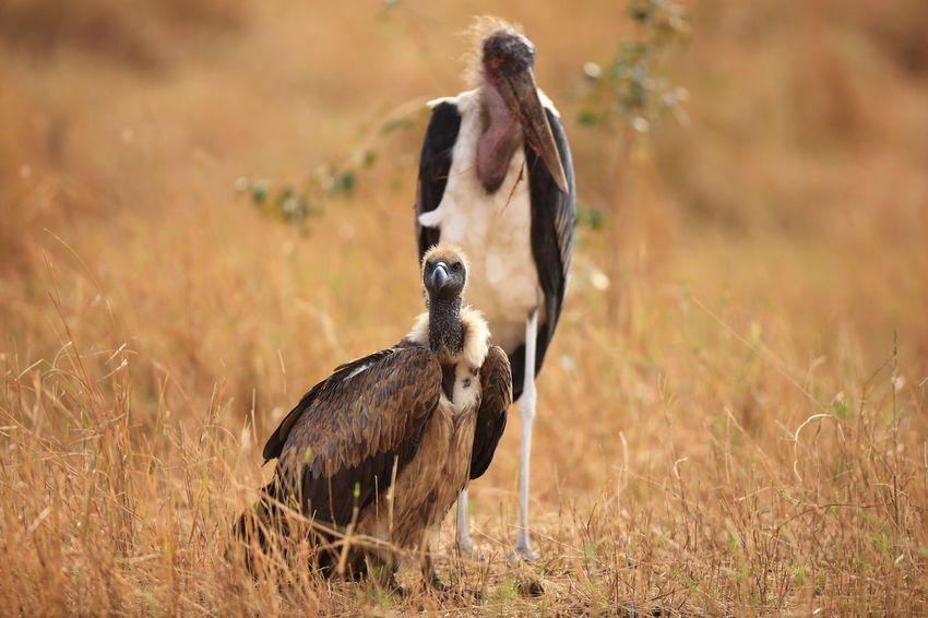 Africa Animal Head  Animal Themes Animals In Wildlife Focus On Foreground Hungry Hungry For More Than A Bite Looking At Camera Lurking Maasai Mara Marabu Stork National Parks Kenya Predator Bird Vultures Waiting For Prey Buddys Friendship