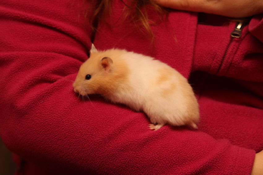 Hamster Love Hamsters Close-up Domestic Domestic Animals Hamster Hand Holding Human Body Part Human Hand Indoors  Mammal Midsection One Animal One Person Pet Owner Pets Real People Red Rodent Vertebrate