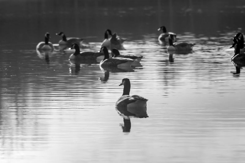 Animal Photography Animalphotography Beautiful Animals  Bird Photography Birdwatching Black & White Black And White Black&white Blackandwhite Blackandwhite Photography Capture The Moment Enjoying Nature EyeEm Best Shots EyeEm Nature Lover Goose Lake Life Is Beautiful Maglido Monochrome Nature Photography Seascape