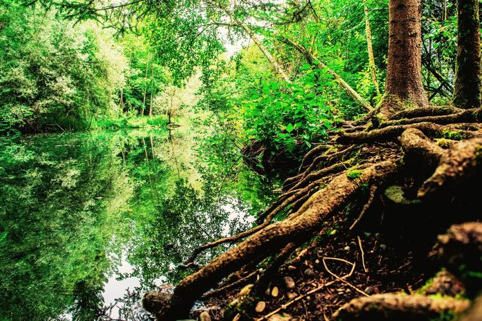 Stillness Beauty Tree Forest Nature Branch Tranquility Beauty In Nature Growth Tranquil Scene No People Green Color Scenics Tree Trunk Water Water Reflections Lake Mossy Tree Moss EyeEm Best Shots EyeEm Nature Lover Leafs Fresh Humid Forest Humidity Transparent Water Breathe The Week On EyeEm