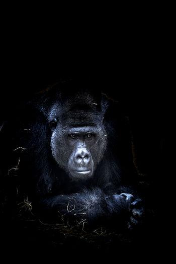 Gorilla looking away against black background