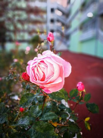 Marvila's Rose EyeEmNewHere EyeEm Nature Lover EyeEm Selects EyeEmBestPics HuaweiP9 Huaweiphotography Huawei P9 Leica Huawei Photography Flower Petal Pink Color Flower Head Focus On Foreground Plant Nature Fragility Beauty In Nature Outdoors Rose - Flower Close-up Freshness No People