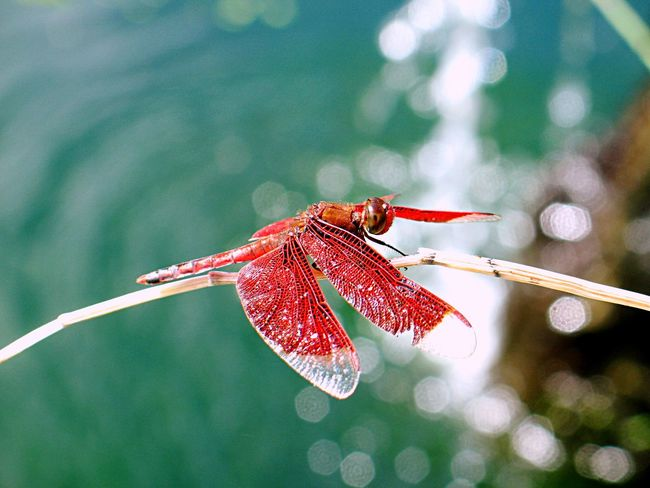 Dragonfly Insect Animal Themes Nature One Animal Close-up No People Red Day Animals In The Wild Outdoors Focus On Foreground Water Fragility Beauty In Nature