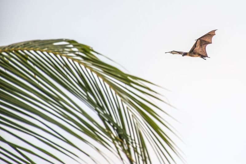Flying Fox Flying In The Sky EyeEm Selects Animal Animal Themes Animal Wildlife Bird Animals In The Wild One Animal Flying Low Angle View Palm Tree Outdoors Leaf No People Vertebrate Nature