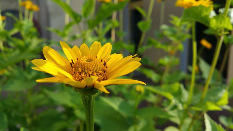 Flowering Plant Flower Plant Fragility Vulnerability  Freshness Petal Flower Head Yellow Growth Beauty In Nature Close-up Inflorescence Pollen Focus On Foreground Day No People Nature Outdoors