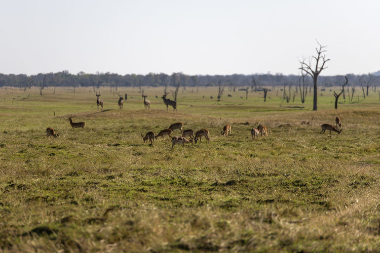 Flock of impalas in a field