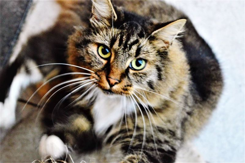 Pets Domestic Cat One Animal Looking At Camera No People Indoors  Portrait Close-up Animal Themes Domestic Animals Day EyeEmNewHere