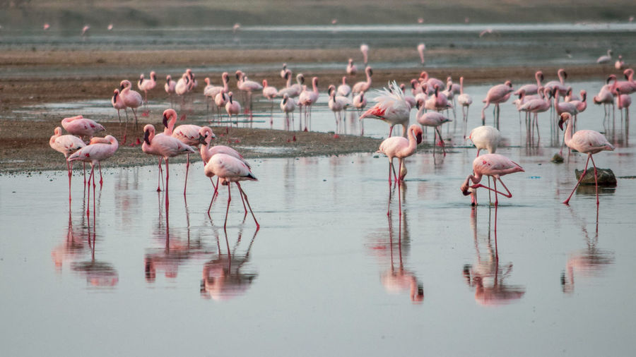 A flurry of flamingos at lake magadi, rift valley, kenya