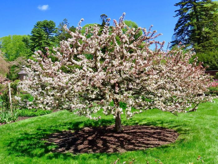 Flowering tree springtime flowers beauty in nature green grass blue sky outdoors Growth Nature Day No People