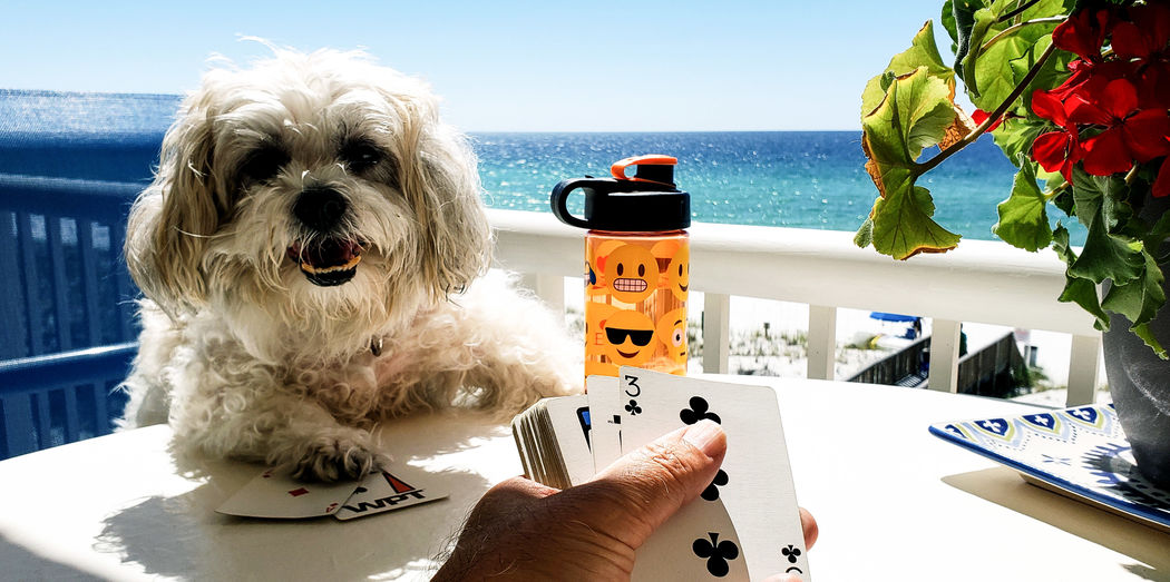 Cute doggie playing card game.. Dog Doggie Cute Pet Cute Dog  Ocean Beach Games Card Games Playing Games Playing Poker Smart Dog Fun Happy Funny Human Hand Water Pets Dog Holding Sea Close-up Sky Personal Perspective