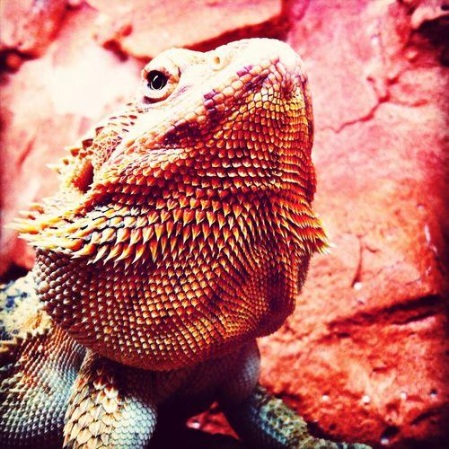Raça - dragão barbudo
