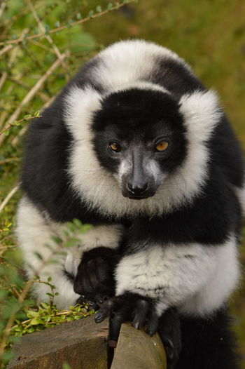 Looking At Camera Primate Lemur Looking At Camera Animal Wildlife Animal Mammal Portrait Close-up One Animal Nature
