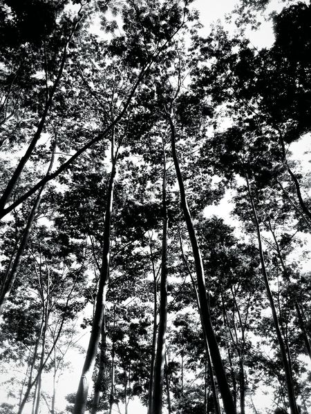 Listen to my whisper.. Forest Nature Low Angle View Tree Growth Outdoors Day No People Sky Blackandwhitephotography Leaves Naturelovers Naturephotography Plants EyeEm Best Shots EyeEmNewHere Branches And Leaves Branchesoftree Wind Whispersofnature Nature_collection Hightrees EyeEm Selects Land Tranquility