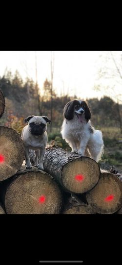 Dogs Pair Puppies Pugs Pugnation Animal Themes Mammal Animal Domestic Animals Group Of Animals Domestic Pets No People Two Animals Animal Wildlife Dog Nature Animals In The Wild