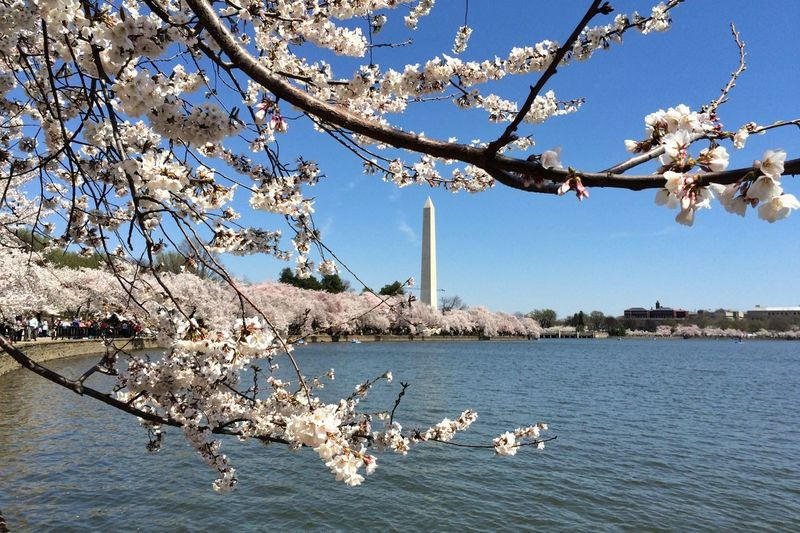 Cherry Blossom 2014, Washington DC shows the Washington Monument - IPSCity IPhoneography Cherry Blossoms TreePorn