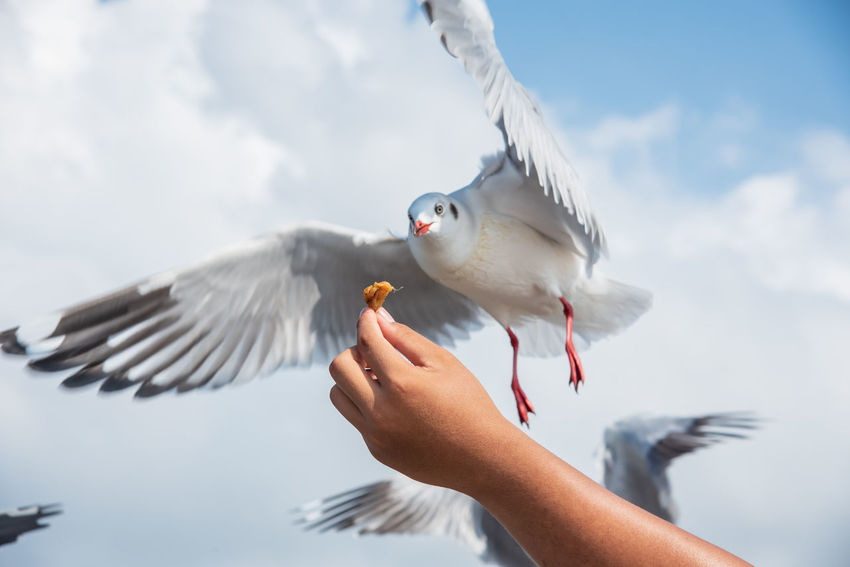 seagulls in action is flying on the sky with cloud,It is hovering food in hands Bird Vertebrate Human Hand Hand Animal Wildlife Flying Animals In The Wild Human Body Part One Person Spread Wings Real People Eating One Animal Holding Feeding  Day Seagull Body Part Outdoors Finger
