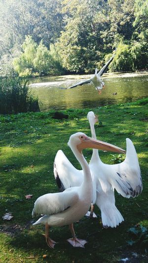 Pelicans Flying Bird Bird In Flight Watersideview Beauty In Nature Togetherness Bird Photography Birdwatching St James Park London