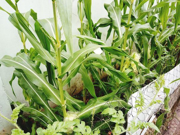 ข้าวโพดหวานสีขาวกินดิบจากฮอกไกโด สวน ปลูก ต้นไม้ ต้นไม้สวย Garden Icecreambean ข้าวโพด Corn Sweed Japan Garden ผัก ผลไม้ Leaf Backgrounds Close-up Plant Green Color