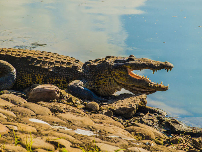AMARÁS, PUES, AL SEÑOR TU DIOS, Y GUARDARÁS SIEMPRE SUS MANDATOS, SUS ESTATUTOS, SUS ORDENANZAS Y SUS MANDAMIENTOS. DEUTERONOMIO 11:1 Alligator Animal Themes Animal Wildlife Animals In The Wild Crocodile Day Nature No People One Animal Outdoors Reptile Water