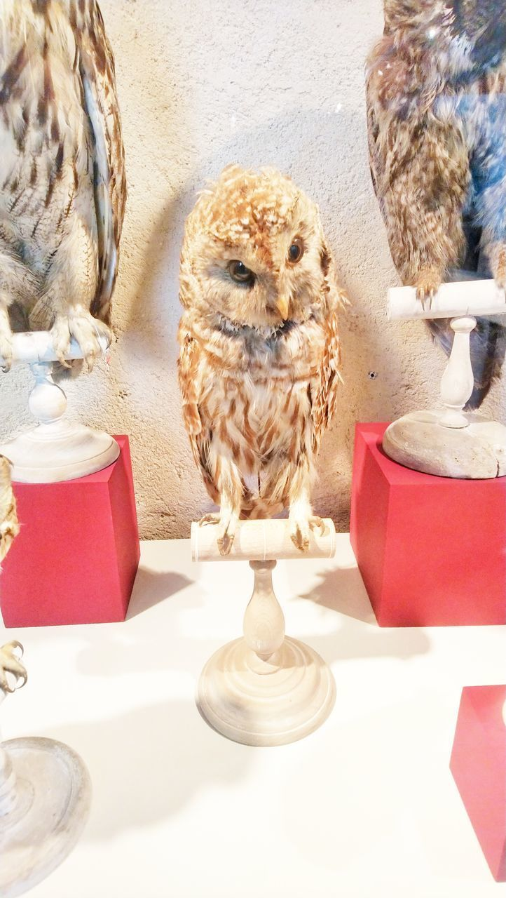 animal themes, animal, domestic animals, indoors, pets, mammal, table, no people, domestic, vertebrate, one animal, close-up, bird, owl, day, seat, bird of prey, art and craft