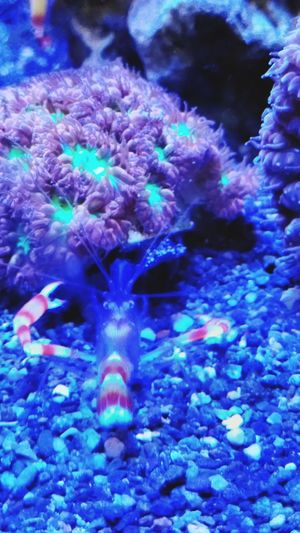 Shrimp Shrimps Golden Boxer Shrimp Lps Coral Blasto Blastomussa UnderSea Sea Life Aquarium Water Swimming Sea Anemone Underwater Sea Coral Fish Fish Tank Soft Coral Swimming Animal Reef Ocean Floor Wild Animal