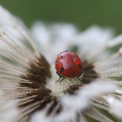 Hello bug Close-up Macro Nature Macro Photography Red Flower Insect Ladybug Fly Agaric Mushroom Red Close-up Dandelion Wildflower Bug First Eyeem Photo My Best Photo