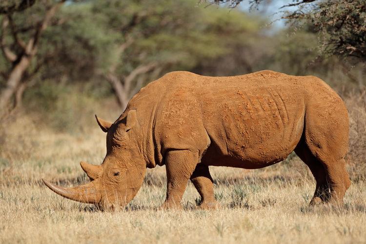 Side view of rhinoceros standing on field