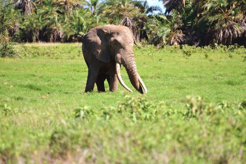 Biggest Tusks Amboseli Elephant