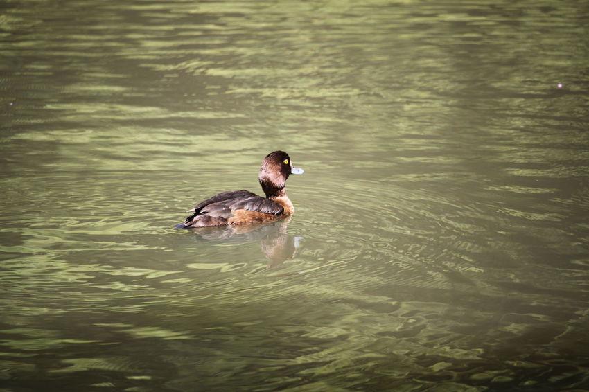Dortmund 🇩🇪Germany Bird Swimming Water Reptile Lake Duck Wetland