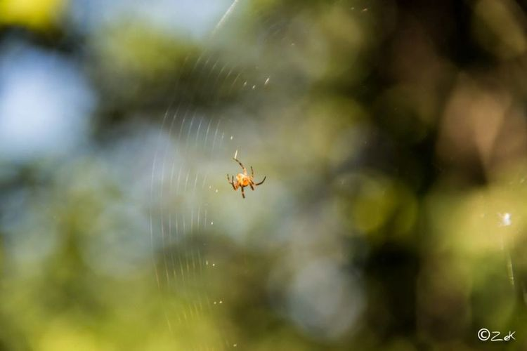 Insect Spider Speedy