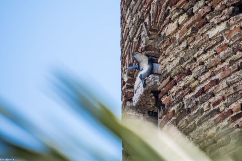 Come un battito d'ali .... Flying Pigeon EyeEm Selects Built Structure Architecture Day Wall - Building Feature Sky Wall Building Exterior Brick Clear Sky No People Brick Wall Selective Focus Building History