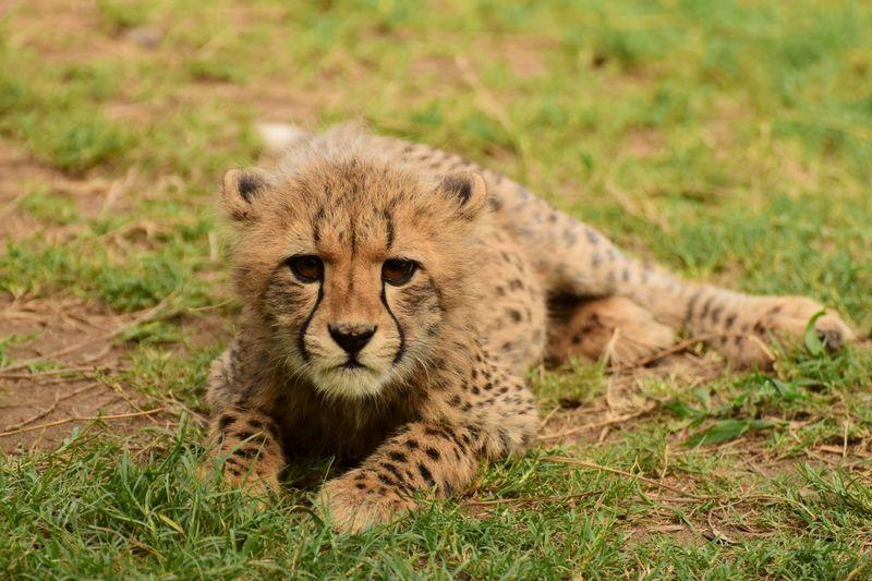 Portrait Of Cheetah Cub