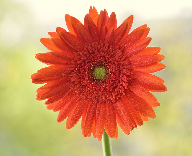 Beauty In Nature Blooming Close-up Daisy Close-up Day Flower Flower Head Focus On Foreground Fragility Freshness Growth Nature No People Orange Color Outdoors Petal Plant Red Daisy Close Up Red Gerbera Sky