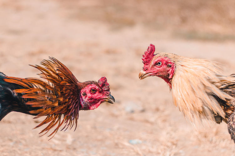 Close-up of roosters